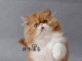 猫舍出售波斯猫颜色齐全 公母都有 免疫驱虫做好了