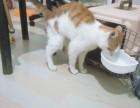 出售棕短猫,请求爱猫,可大刀