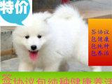 微笑天使萨摩耶幼犬 赛级双血 品质保证 自家繁