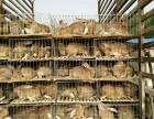 贵阳市杂交野兔养殖基地种兔现货出售价格多少钱一组