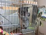 标灰龙猫宝宝