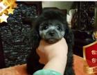 专业繁殖泰迪犬养殖基地 可以来犬舍里挑选