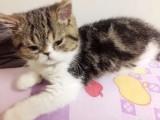 自家养的加菲猫宝宝
