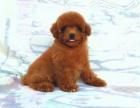 重庆本地出售泰迪熊上门700一只 包健康 包纯种 当面挑选