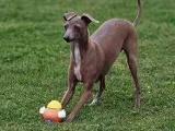 靈緹犬價格 靈緹犬多少錢 純種靈緹犬多少錢一只