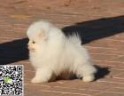 淄博哪里有博美卖 纯种博美多少钱 哈多利博美 白色博美犬