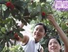 果果农家200亩果园/杨梅水蜜桃油桃杏子李子/采摘