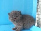 自家繁育--蓝色异国短毛(加菲)猫
