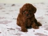 宠物繁殖基地长期出售泰迪幼犬 保证品质健康