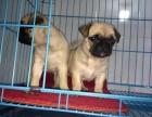 极品巴哥幼犬找新家 喜欢的朋友可以来看看