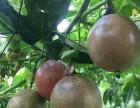 农家土特产百香果西番莲大红果批发微商一件代发
