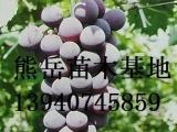 京亚葡萄苗