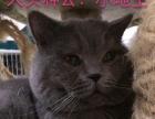 《幽幽猫·纯猫舍》多只优质种公对外借配