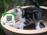 绵阳哪里有宠物店 绵阳哪里卖宠物猫便宜 绵阳虎斑猫价格