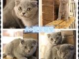 苏州本地猫舍出售猫咪,健康保障,可上门挑选,面签协议