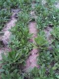 一年种植十年收益的蔬菜品种 救心菜种苗
