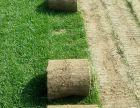 涿州市园林绿化草坪种植中心供应冷季型绿化草坪高羊茅早熟禾混播