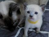 北京 小暹罗猫 出售