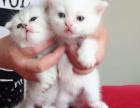 蓝猫,纯白英短,加菲,宝宝满月出售