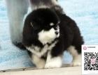 哪里有卖阿拉斯加雪橇犬 出售纯种阿拉斯加犬舍在哪里
