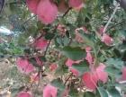 沂源红苹果采摘园,免费游玩沂源圣佛山,吃农家饭