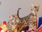1800帮朋友出孟加拉豹猫