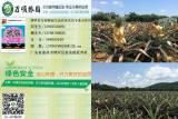 菠萝苗,广东凤梨苗批发价格