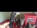 美国虎斑短毛猫出售
