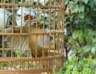 上海画眉鸟多少钱一只,画眉鸟一般多少钱一只