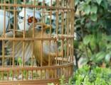 上海画眉鸟出售