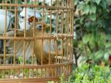广州哪里有卖画眉怎么挑选画眉鸟多少钱一只