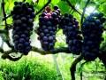 葡萄研究所.西安葡萄产地.葡萄产地,户太八号