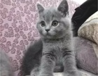 多只英短蓝猫 渐层 蓝白 纯白待售