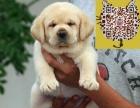 出售神犬小七拉布拉多幼犬 2-4个月健康有保障 可送货上门