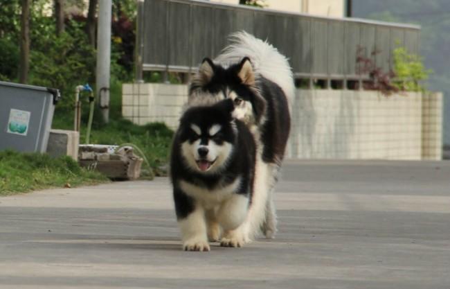 成都繁殖出售金毛犬阿拉斯加 泰迪熊 松狮犬 德牧边牧多品种