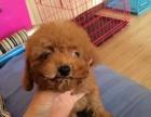 泰迪幼犬出售 泰迪贵宾狗狗终身包纯种健康签订协议