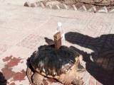 非洲鳄鱼乌龟