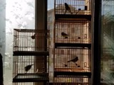 精品鸟笼及玩赏鸟转让出售