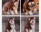 新年特惠阿拉斯加雪橇犬,健康纯血统签协议各色都有