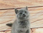 蓝猫短毛猫英短蓝猫幼猫纯种猫宠物猫幼猫猫咪