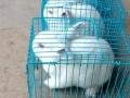 垂耳兔,小白兔找妈妈