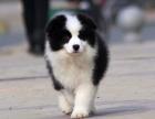 狗场里的边境牧羊犬能不能养活 价格贵不贵