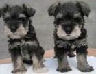 天津哪里卖雪纳瑞犬幼犬天津雪纳瑞多少钱一只雪纳瑞图片好养吗
