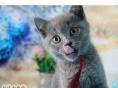 赛级品相毛茸茸 英国短毛猫/蓝猫 公母均有 幼猫