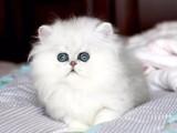 厦门哪里有金吉拉猫卖 猫舍直销 健康活泼 包纯种 保养活