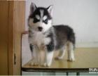 精品哈士奇幼犬一证书齐全一血统纯正送用品签协议