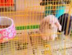 宠物兔大垂耳兔