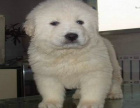 自家大狗生了一窝大白熊可以上门看狗父母