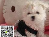 在哪里买纯种的马尔济斯幼犬 马尔济斯最低多少钱