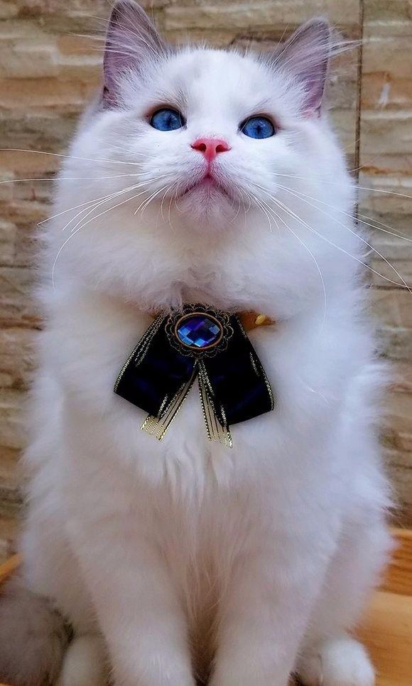 出售精品布偶 蓝猫 渐层 加菲无病无癣 签协议